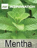 Fundamental  supply and demand analysis and forecast outlook of Mentha markets